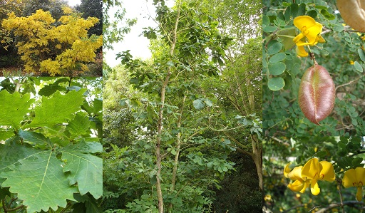 Some of Betty Horsfall's plants in Ness Gardens. From left to right, Phellodenron amurense, Quercus mongolica, and Colutea arborescens, the latter of which has since died. Photos courtesy of Tim Baxter.