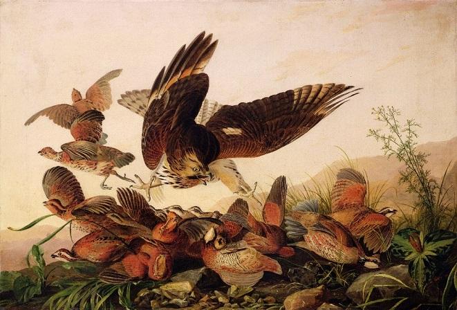 Audubon's Hawk Pouncing on Partridges, 1827