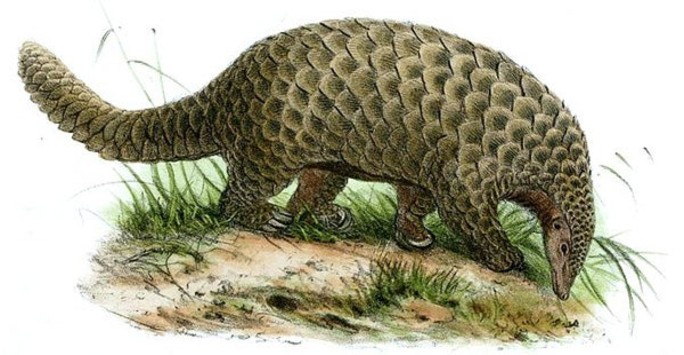 Illustration of an African Giant pangolin Smutsia gigantea, by John Wolf. Image in public domain