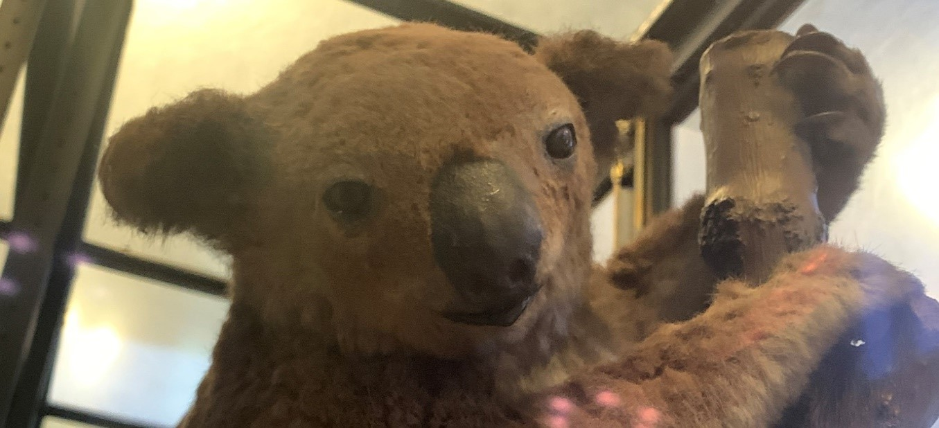 Kylie the taxidermy koala on display in the VGM.  Named in 2006, by a member of the VGM team.