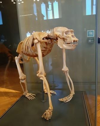 Gorilla Skelton