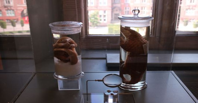 Two Asian pangolin specimens in spirit jars