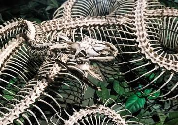 Close up colour photograph of a snake skeleton specimen with the wires holding the skeleton together.