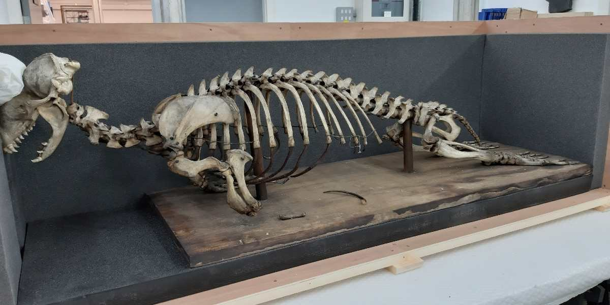 A seal skeleton being packed away ready for the move.