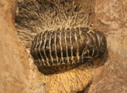 A Trilobite specimen from the Tate Hall Museum