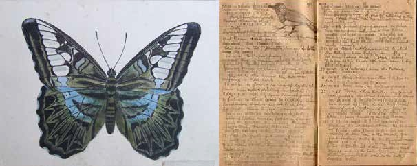 Tropical butterfly, Thailand 1943-44, painted by Sgt Jack Kemp, © J. Upcraft and courtesy W.Bird and Private Spittle's bird observation notebook during captivity in Singapore, © courtesy B. Spittle